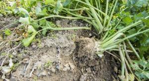 Szpilecznik baldasznik i korzeniaki – potencjalne zagrożenie dla selera?
