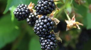 Uprawa jeżyny coraz popularniejsza – dzięki nowym odmianom i technologii
