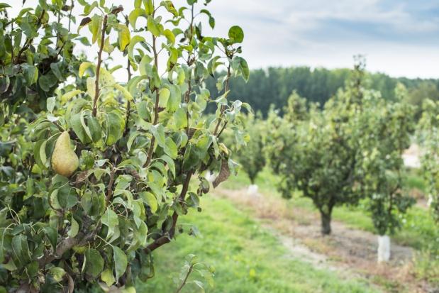 Jak osiągnąć sukces w uprawie grusz?