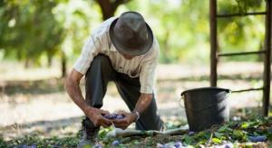 Związek Sadowników ma rozwiązania dot. pracowników w rolnictwie