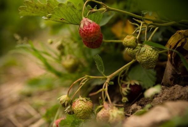Potencjalne zagrożenia na plantacjach truskawki w nowym sezonie