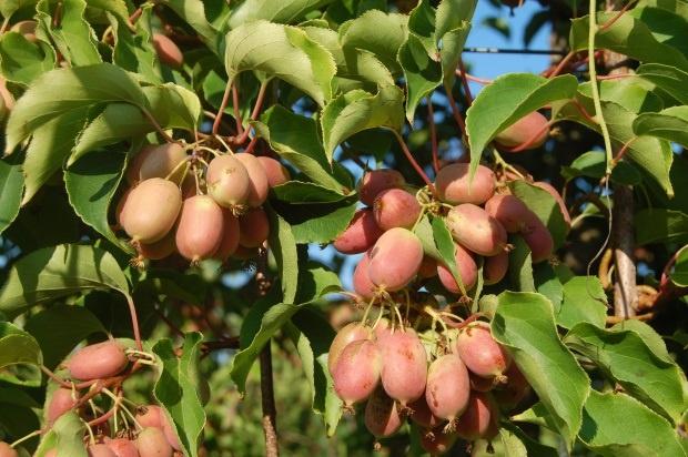 Zastanawiasz się nad uprawą minikiwi? Poznaj zalety i wady tych owoców