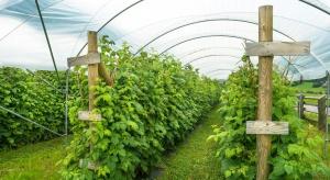 Maliny zamiast ogórków? Producenci warzyw pod osłonami zmieniają profil upraw