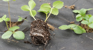 Rodzaje sadzonek truskawki - jak obniżyć koszt założenia uprawy?