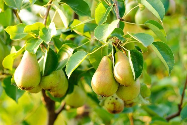 Sadownicy decydują się na produkcję grusz. Jak kształtuje się rynek tych owoców?