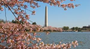 Ciepła pogoda w Waszyngtonie przyspieszyła kwitnienie wiśni