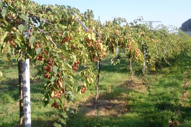 Na jakie odmiany minikiwi warto postawić na plantacjach towarowych?