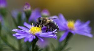 Syngenta zachęca rolników do wysiewania roślin atrakcyjnych dla pszczół
