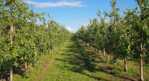 Kontrola wzrostu drzew jabłoni