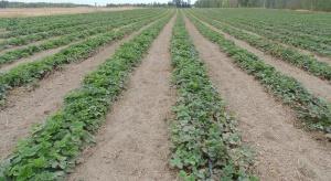 Jak zadbać o plantacje truskawek po zimie? (zdjęcia)