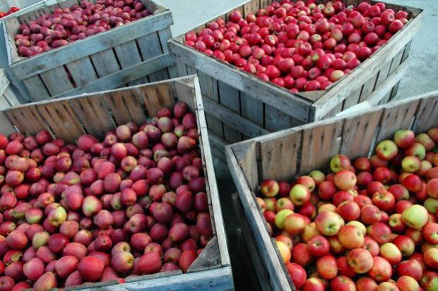 W polskich chłodniach przechowywanych jest 799 tys. ton jabłek