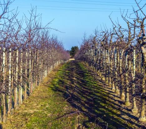 Parch jabłoni – wczesnowiosenne zagrożenie dla sadów