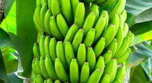 11,3 proc. bananów na rynku UE pochodzi z krajów Wspólnoty