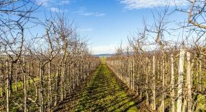 Uwaga na zarazę ogniową i mszyce w sadach jabłoniowych
