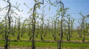 Pogoda sprzyja infekcjom mączniaka jabłoni