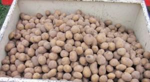 Przy sadzeniu pamiętaj o zaprawianiu bulw ziemniaków