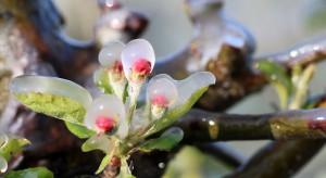 Przymrozki w sadach - zalecenia odnośnie regeneracji roślin