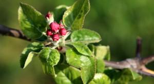 Raport sadowniczy firmy Agrii - parch i poprawa zawiązania owoców