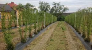 Prezes Coactum: Przymrozki nie zaszkodziły kondycji roślin jagody goji