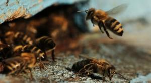 PSOR: Polacy wciąż niewiele wiedzą na temat pszczół