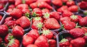 Opóźnienia w dojrzewaniu truskawek. Większa podaż owoców na koniec maja