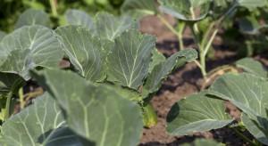 W uprawach kapusty pojawiają się pchełki i mszyca kapuściana