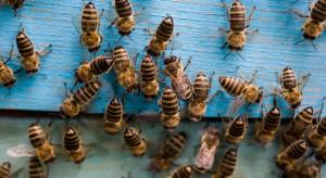 Od dwóch dekad stale przybywa pszczół. W Polsce żyje 1,5 mln rodzin pszczelich (video)