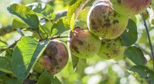 Arysta będzie monitorować odporność parcha jabłoni na wybrane grupy fungicydów