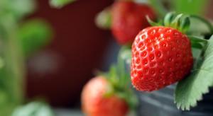 Strategie stosowania laminaryny w ochronie upraw truskawki