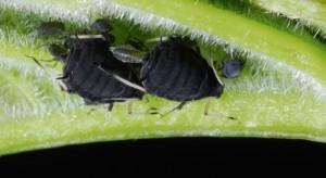 Mszyce atakują fasolę – konieczna lustracja roślin na plantacjach