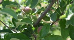 Forum Doradców: Ocena kondycji roślin po przymrozkach i aktualności w ochronie sadów