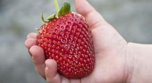 Największa truskawka w Polsce waży 214 gram!