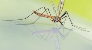 Uwaga na komary! Najwięcej wykluje się na przełomie czerwca i lipca