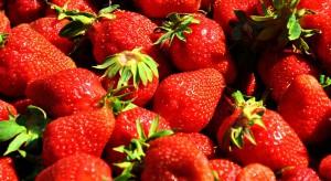 Koniec zbiorów truskawek na Mazowszu. Ceny owoców będą rosły