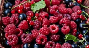 Skup owoców jagodowych 2017: Przetwórcy liczą straty, a plantatorzy - zyski