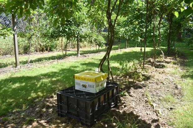 Od czego zależy powodzenie w uprawie minikiwi? Kluczowe znaczenie ma agrotechnika (zdjęcia)