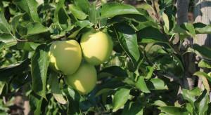 Przyczyny opadania liści jabłoni – jak ograniczyć to zjawisko? (zdjęcia)