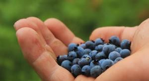 IERiGŻ-PIB: Plantatorzy otrzymują 28 zł za kg borówek