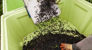Kolejny trudny sezon dla plantatorów czarnych porzeczek
