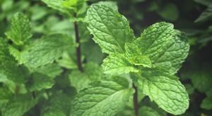 Trwają ziołowe żniwa – czy zapotrzebowanie na surowiec jest wysokie?