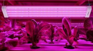 Krasoń i Toshiba oceniali wpływ lamp Grow Light na wzrost sałaty