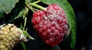 Raport sadowniczy firmy Agrii – rośliny jagodowe - sierpień