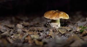 Apel lekarzy: zbierajmy tylko takie grzyby, które dobrze znamy!