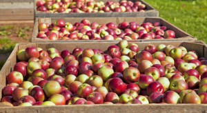2,8 mln ton prognozowanych zbiorów jabłek w Polsce; 9,3 mln ton - w UE