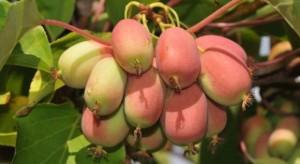 Minikiwi, kiwiberry - nowe owoce podbiją europejskie rynki?