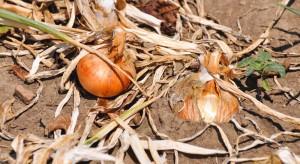 Zbiory cebuli w Polsce niższe niż oczekiwano. To przez pogodę i choroby grzybowe