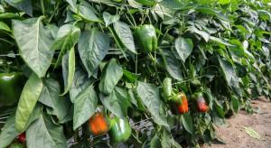 Nowe odmiany i technologie w uprawie papryki