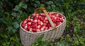 Eksperci przewidują wzrost produkcji ekologicznych jabłek w UE