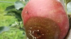 Jak właściwie zabezpieczyć owoce do przechowywania?