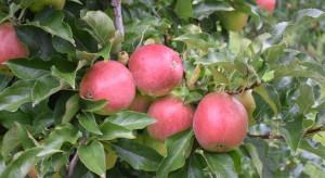 Jak chronić jabłka, by spełniały oczekiwania najbardziej wymagających?